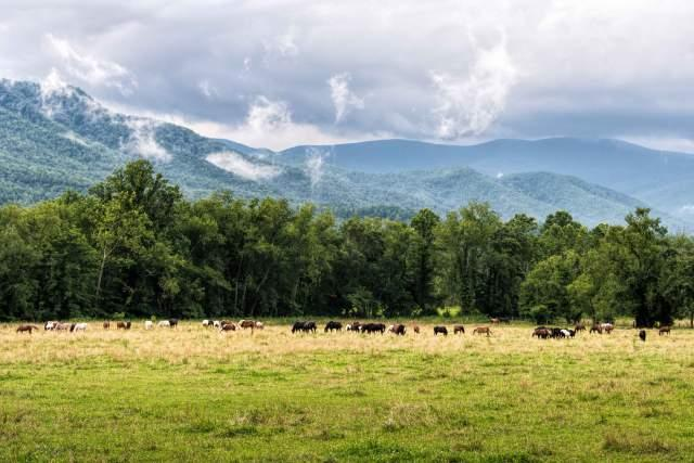 Wild-Horse-Herd-in-Cades-Cove