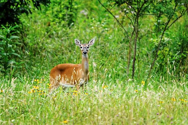 White-tailed-Deer-at-Cades-Cove