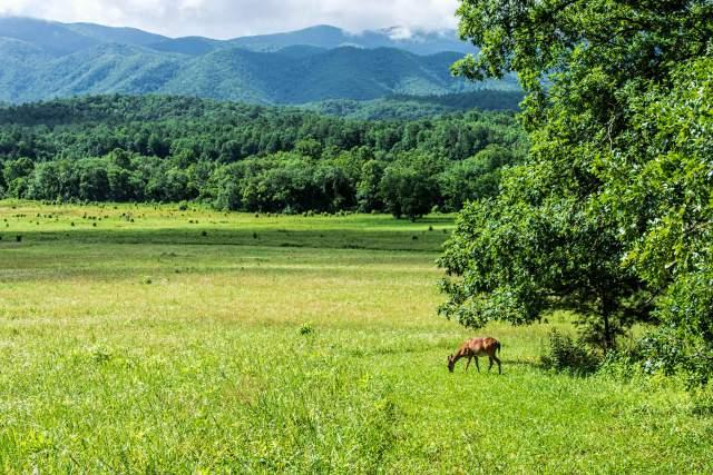 Deer-in-Cades-Cove