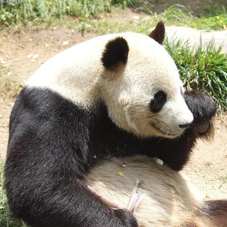 Treasure Trove for Biofuel in Panda Droppings?