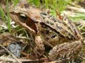 Featured Animal: Common Frog