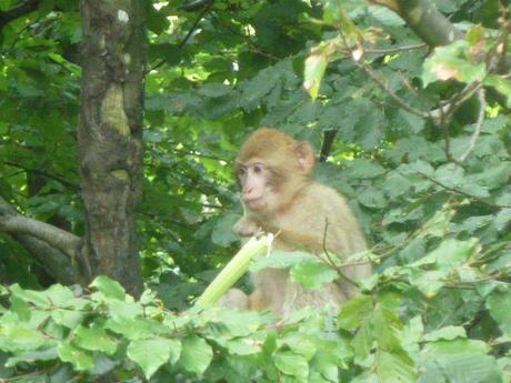 Monkey hanging out in a tree at Monkey Mountain (Affenberg)
