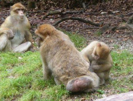 Monkey grooming another monkey at Monkey Mountain (Affenberg)