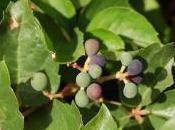 Plant Week: Parthenocissus Quinquefolia