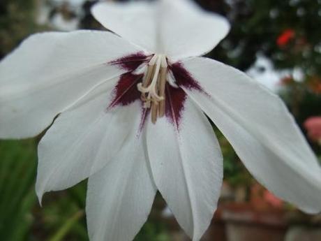 Plant of the Moment: Gladiolus callianthus