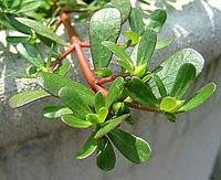 Purslane, thou art Mine Enemy...or Are You?