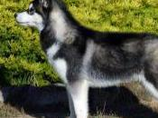 Featured Animal: Siberian Husky
