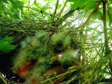Black-headed Grosbeak nestlings, about 7 days old.