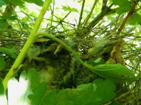 Black-headed Grosbeak nestlings at about day 12. Slightly cuter, but still pretty ugly.