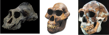 Paranthropus (left), Australopithecus (centre) and early Homo (right)