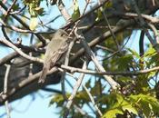 Willow Flycatcher Hunt Second Marsh Oshawa