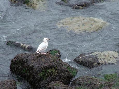 seagull sits on a rock in harbor at dunmore east in county waterford - ireland
