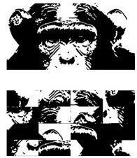 Chimps were either presented with the face of another chimp (top), or the freaky muddled up face (bottom)