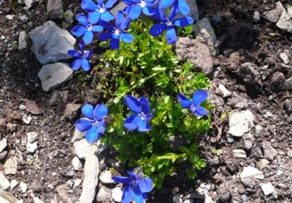 Bavarian gentians explication essay