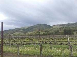 Sonoma vines