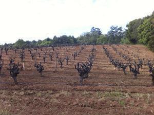 Sonoma - Old Vines