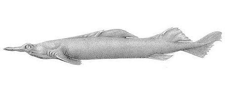 birdbeak dogfish shark