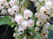 White Currants Elderflowers