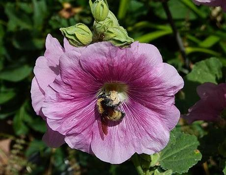 Hollyhocks and Bumble Bees