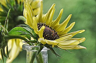 Starring Sunflower