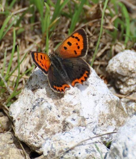 Small Copper, Public footpath from Blisland Churchyard