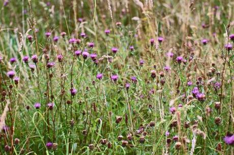 Flower meadow, Public footpath from Blisland Churchyard