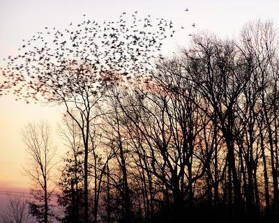 Creation grace: Starling murmuration & evening roost