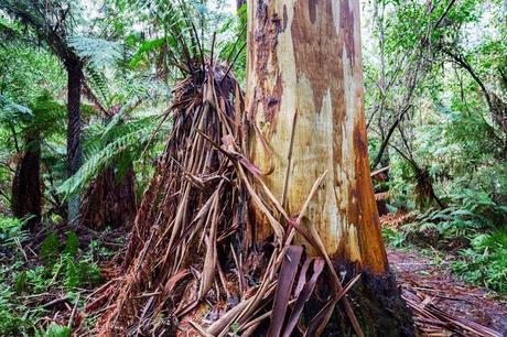 strips of peeling bark from Eucalyptus regnans