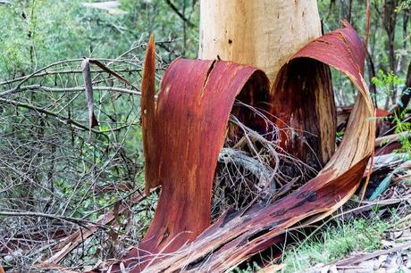 peeling bark on eucalypt tree