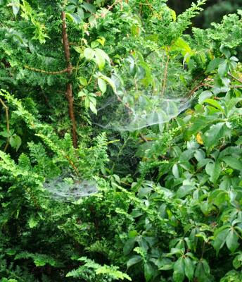 Cob Webs or Fairy Hammocks?