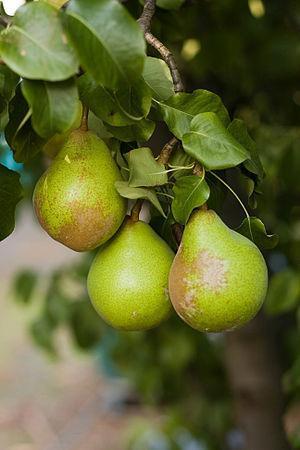 Three Pears in Tasmania, Australia