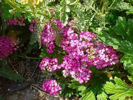 Waterwise Goodies in the August Garden