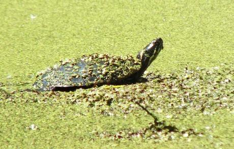 painted turtle - looks up from pond -  near forks of the credit - ontario