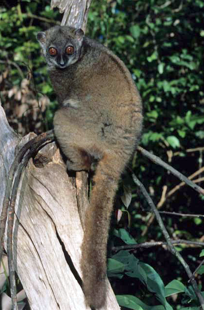 Lemurs eavesdrop their way to safer futures