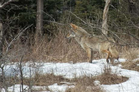 A Coyote stops and takes a look at something in the bush, in the Claireville Conservation Area, in northwest Toronto - Ontario. March 8, 2013