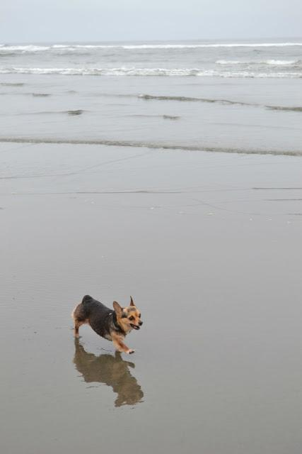 corgi, chihuahua, beach, ocean, dog