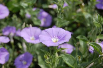 Convolvulus sabatius Flower (27/07/2013, Kew Gardens, London)