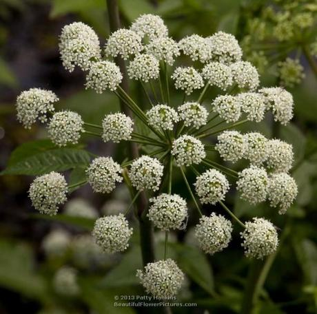 Water Dropwort (oxypolis filiformis) © 2013 Patty Hankins