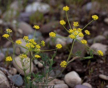 Nineleaf biscuitroot (lomatirum triternatum) © 2013 Patty Hankins
