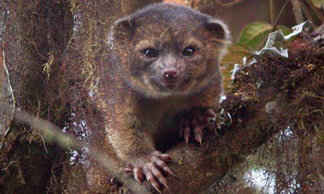 Olinguito, a new carnivore species