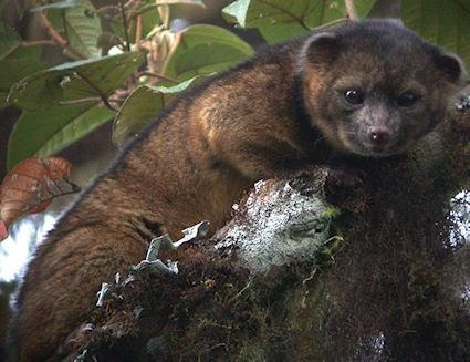 New Animal Discovered: The Olinguito