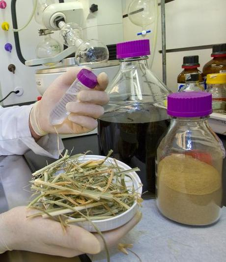 The right combination of enzyme cocktail and ionic liquid pretreatment can be used to extract fermentable sugars from switchgrass in a single, wash-free step. (Credit:  Lawrence Berkeley National Laboratory / Roy Kaltschmidt)
