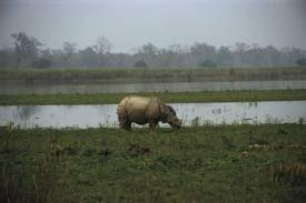Great Indian one hourned rhinoceros