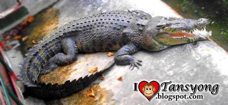 Crocodiles : Palawan Wildlife Rescue and Conservation Center , Puerto Princesa?