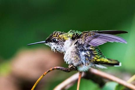 Female-Ruby-throated-Hummingbird-Stretching