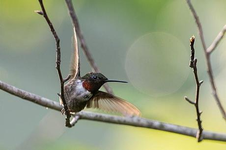 Male-Ruby-throated-Hummingbird-Taking-off