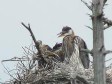 Great Blue Heron Chicks Nest Oxtongue Lake Rookery
