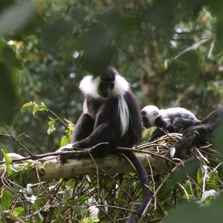 a science paper on colobus monkeys Traditional taboos in biological conservation: the case of colobus vellerosus at the boabeng-fiema monkey sanctuary, central ghana tania l saj, charles mather, and pascale sicotte social science information.