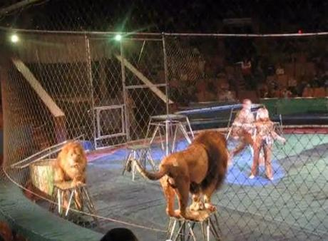 Circus Lions Decide They're Not Going to Take It Anymore