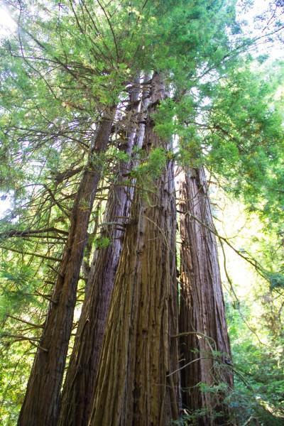 muir woods 400x600 San Francisco: Golden Gate Bridge and Muir Woods